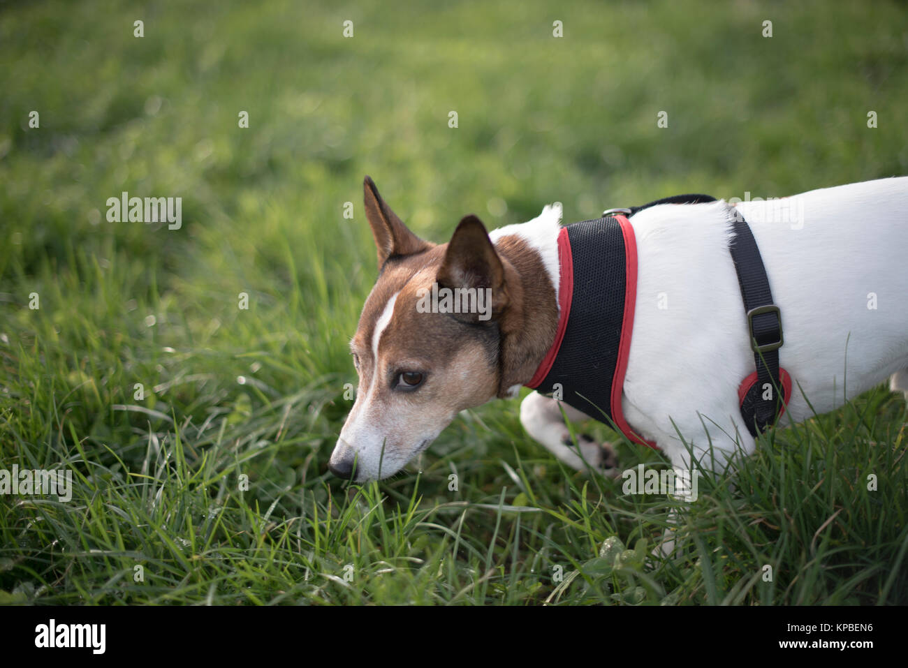 A smooth-haired Jack Russell terrier walking in a grass field wearing a harness and looking a little ashamed - Stock Image