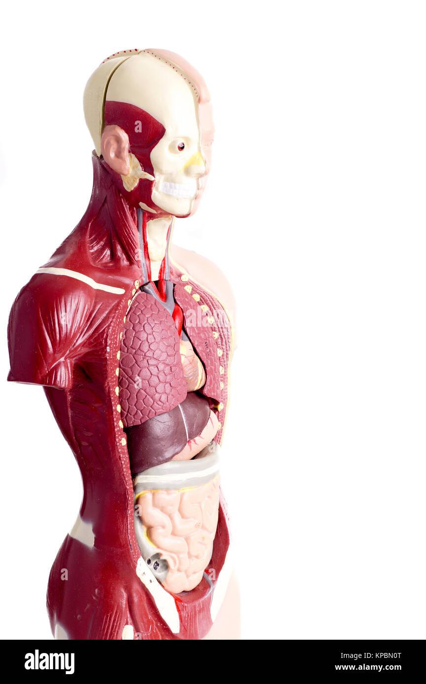 Human anatomy model used in Health care Stock Photo: 168673704 - Alamy