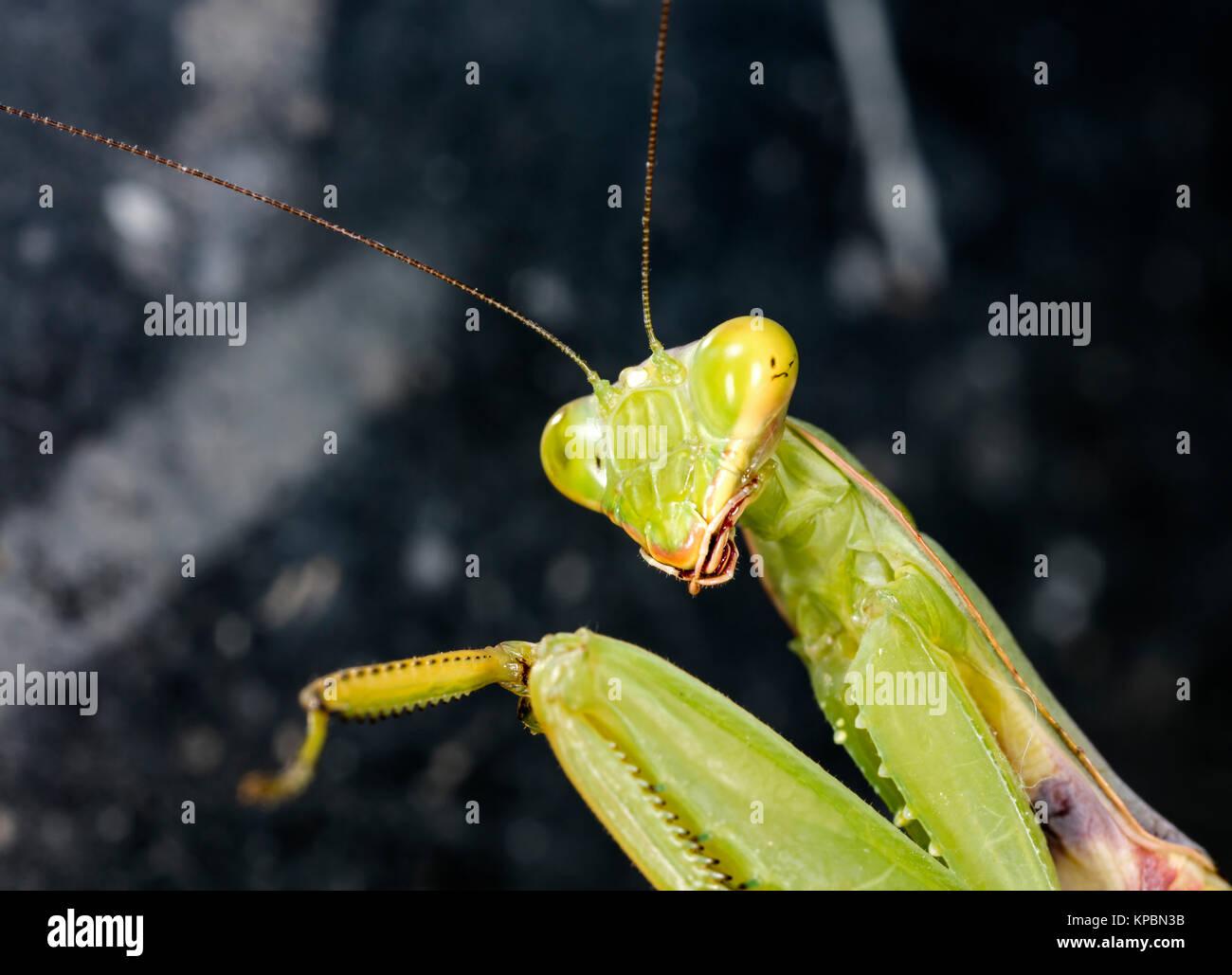 large female of the mantis - Stock Image