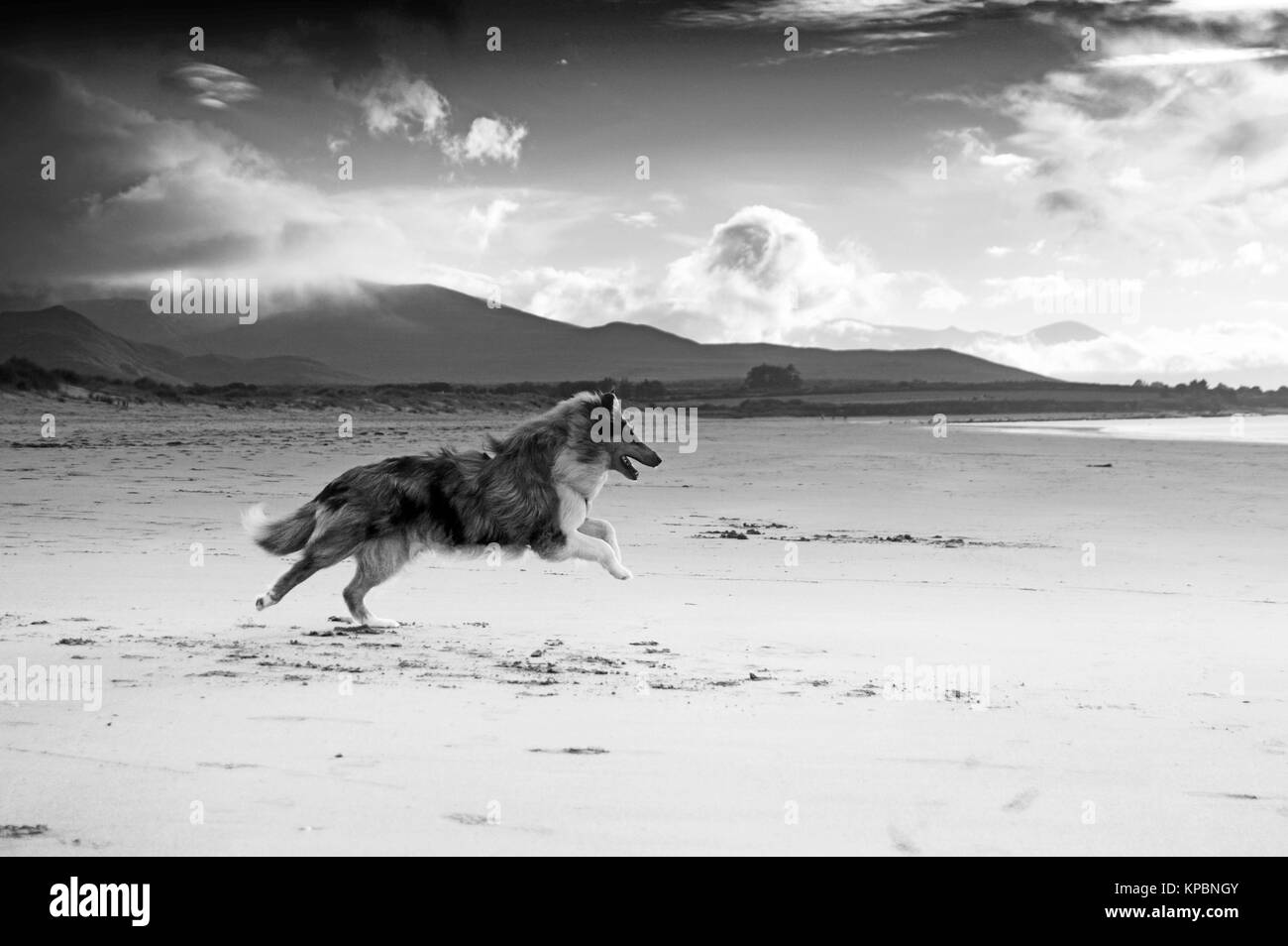 Rough collie dog running along beach in Dingle, Ireland. Black and white image with clouds falling over mountain - Stock Image