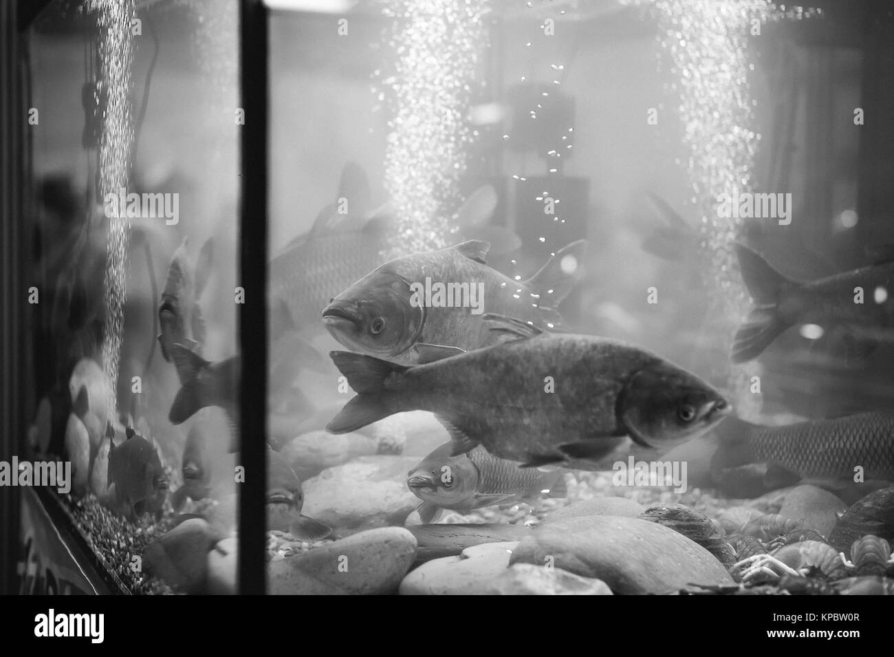 river commercial fish in the aquarium, agricultural achievements - Stock Image