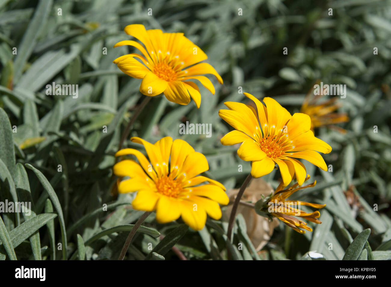 Yellow Flowers In Lanzarote Canary Islands Spain Stock Photo