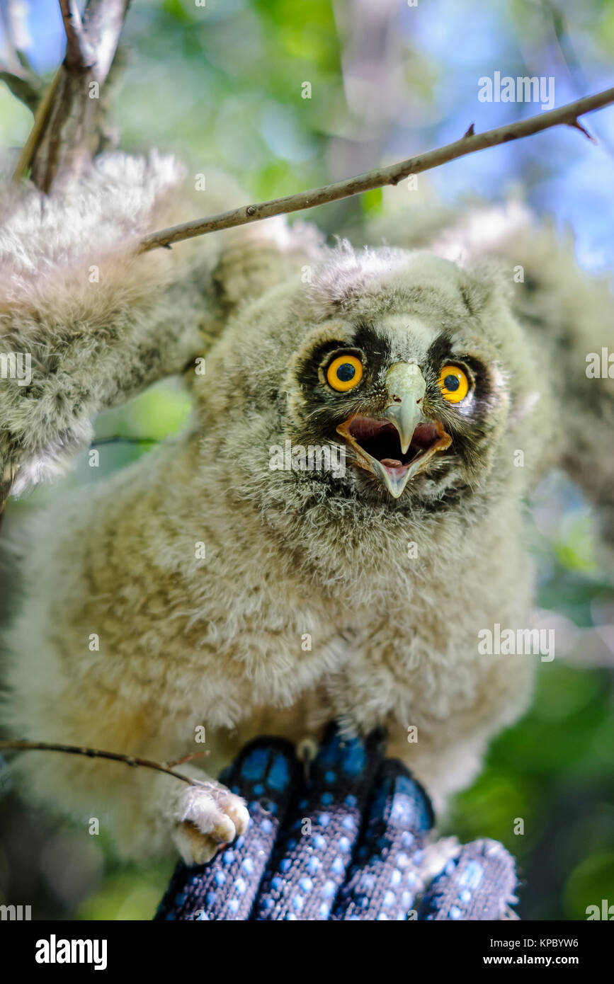 Young long-eared owl sitting on a hand - Stock Image