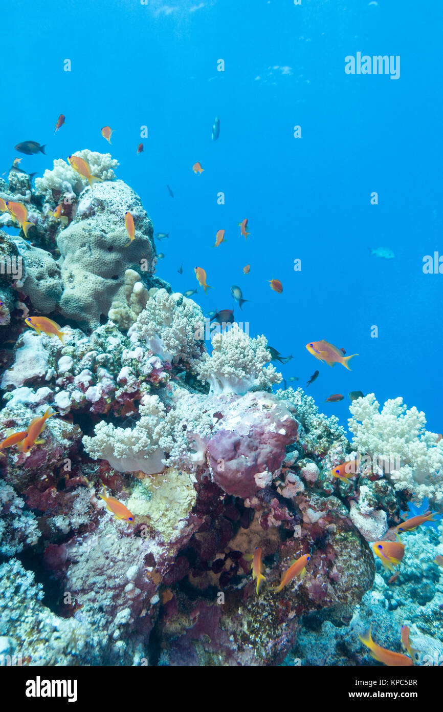 coral reef with  fishes scalefin anthias, underwater - Stock Image