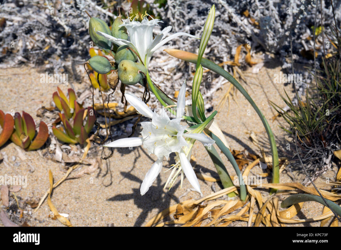 Sea Daffodill (Pancratium maritimum), blooming, at sandy beach of Badesi, Sardinia, Italy, Mediterranean sea, Europe - Stock Image