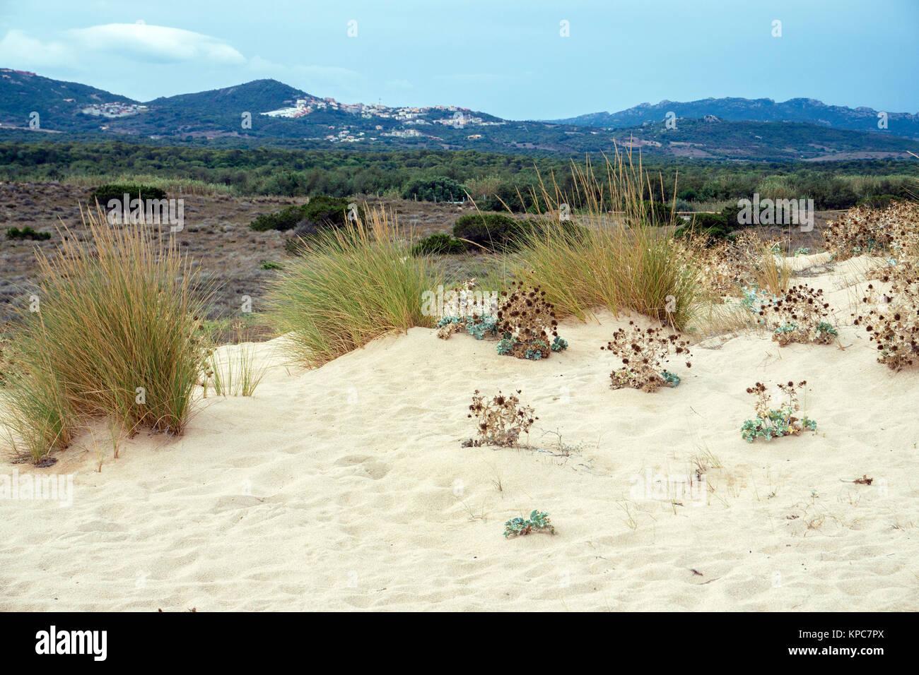 Sandduenen am Strand Spiaggia del Liscia, Porto Pollo, Sardinien, Italien, Mittelmeer, Europa | Dune grass on sand - Stock Image