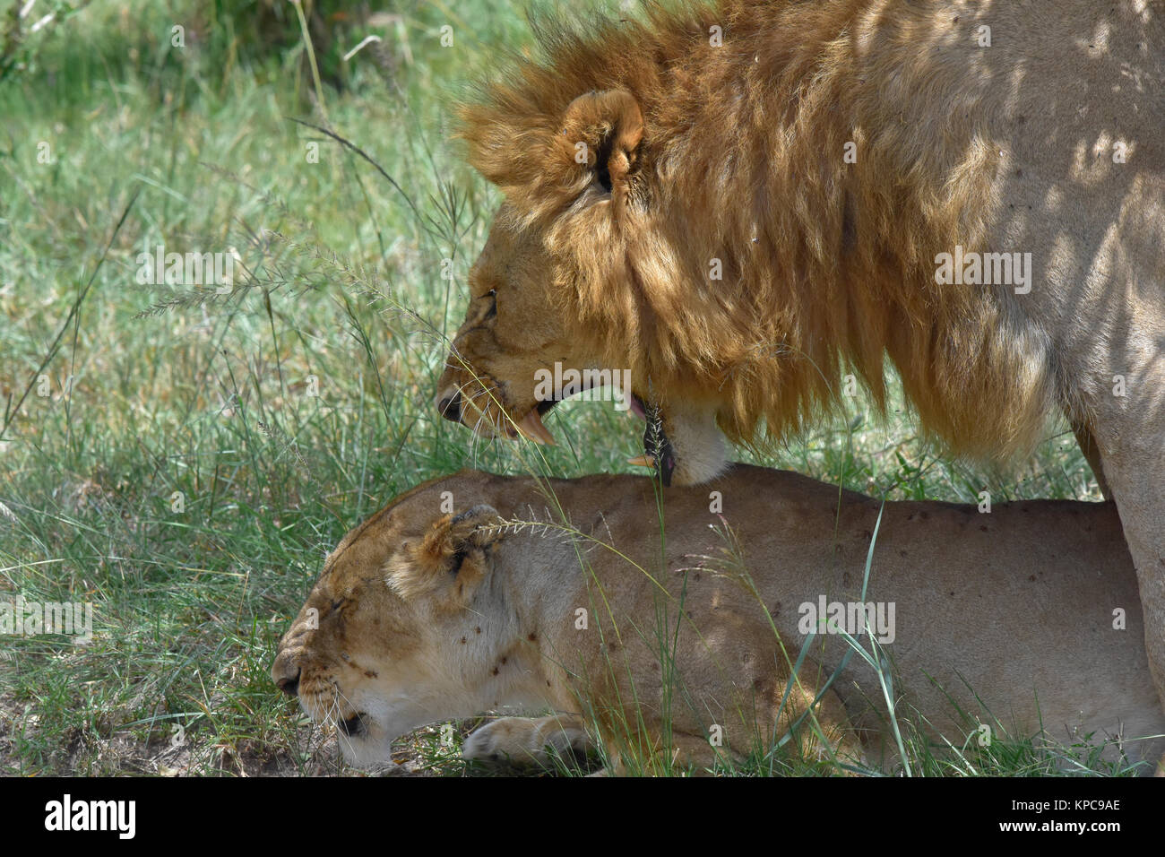 Kenya is a prime tourist destination in East Africa. Famous for wildlife and natural beauty. Mating lions Stock Photo