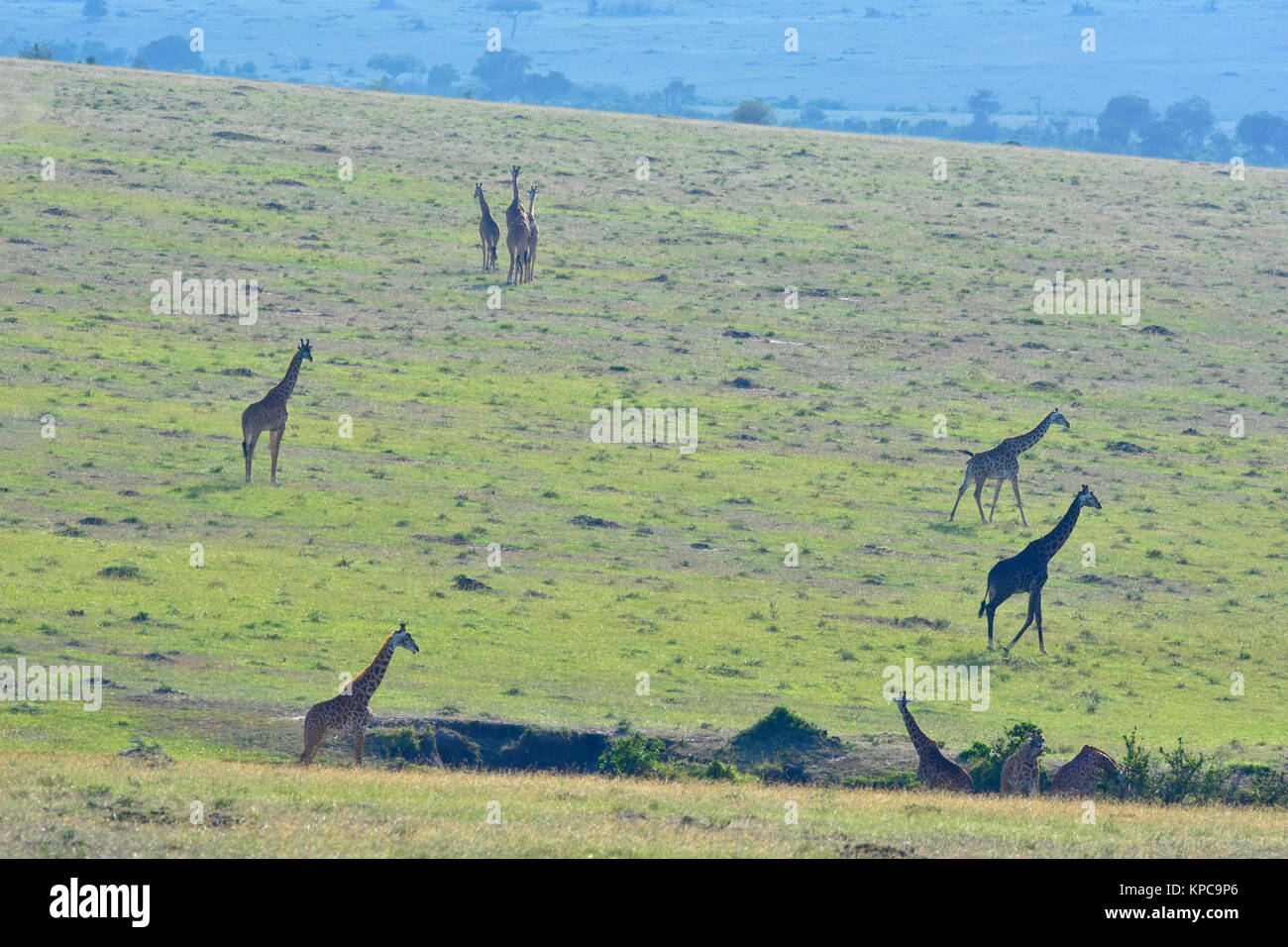 Kenya is a prime tourist destination in East Africa. Famous for wildlife and natural beauty. Giraffe family on grass Stock Photo