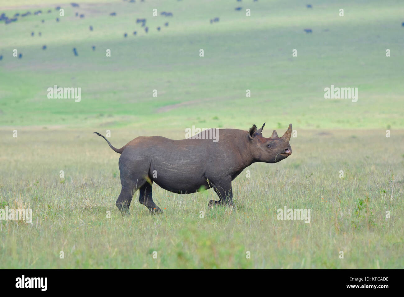 Kenya is a prime tourist destination in East Africa. Famous for wildlife and natural beauty. Black rhino - Stock Image