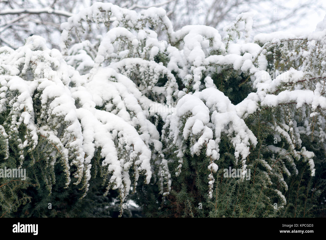 Green branches under the snow - Stock Image