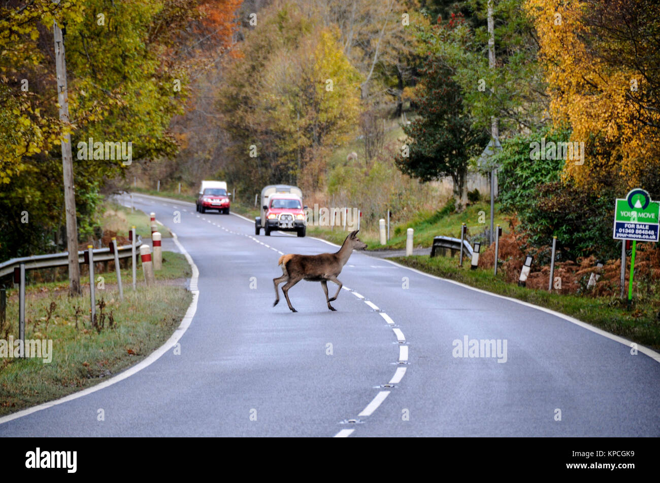 A red hind crosses  busy road in Wester Ross,  northwest Scotland. Deer are a major cause for road accidents. - Stock Image