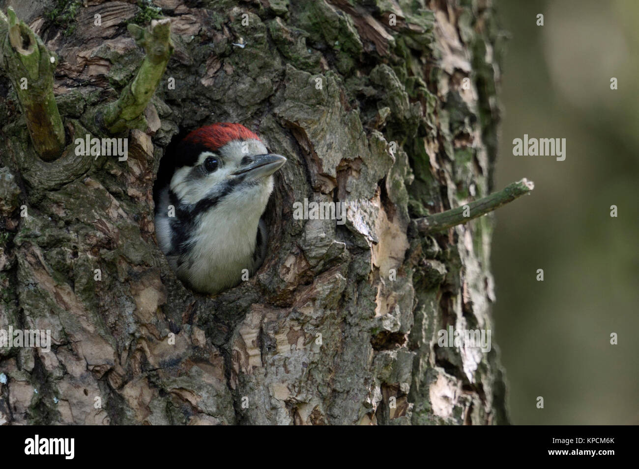Greater / Great Spotted Woodpecker / Buntspecht ( Dendrocopos major ), juvenile, chick, looking out of nest hole, - Stock Image