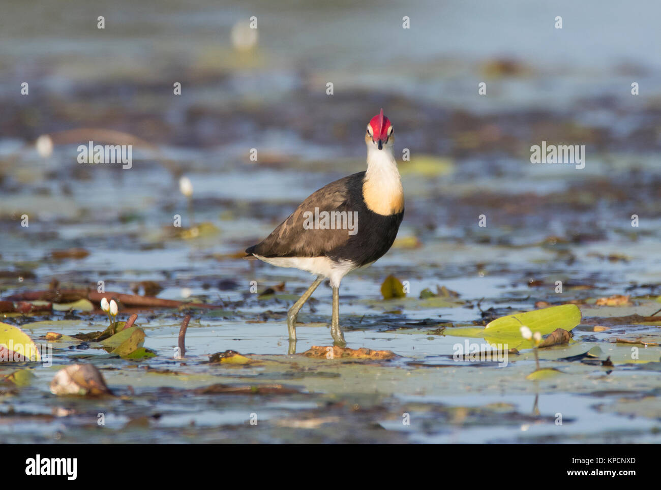 A Comb-crested Jacana, Irediparra gallinacea, wading on water lillies searching for food in an Australian outback - Stock Image