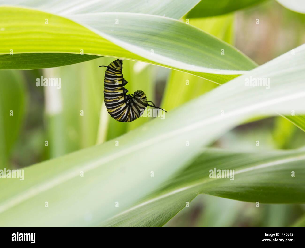 Monarch Butterfly (Danaus plexippus) larva in pupation on underside of leaf in allotment in Spain - Stock Image
