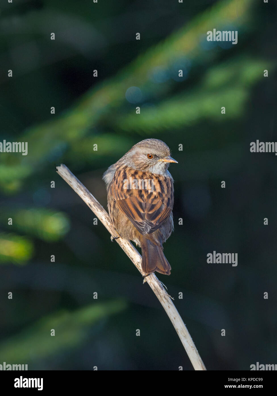 Hedge Sparrow Prunella modularis in conifer woodland - Stock Image