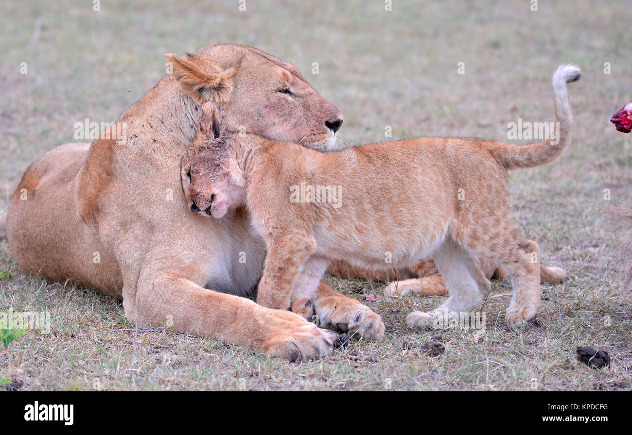 Wildlife in Maasai Mara, Kenya. Lioness with cubs - Stock Image