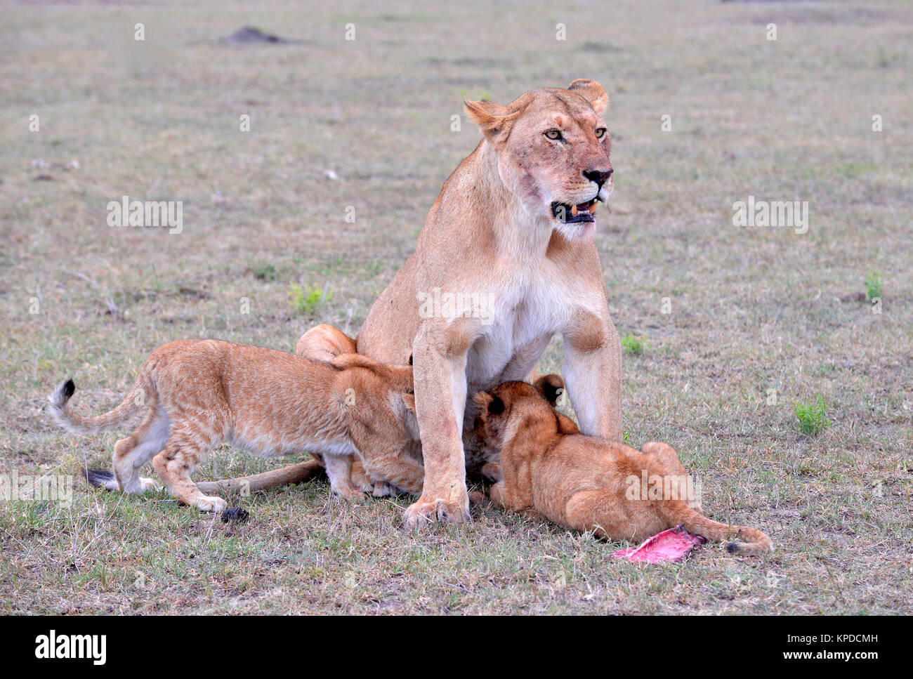 Wildlife in Maasai Mara, Kenya. Lioness with cubs - Stock Image