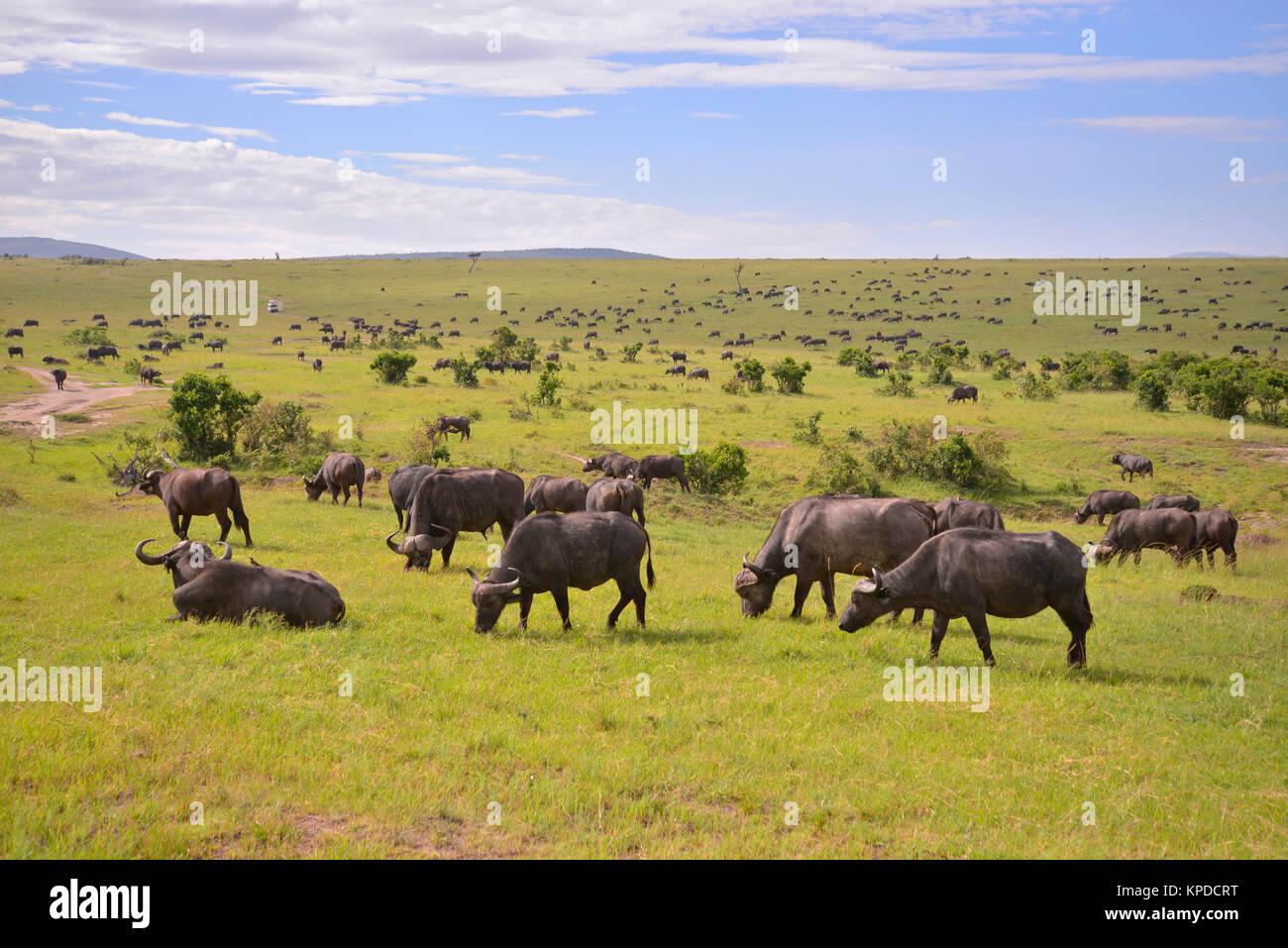 Wildlife in Maasai Mara, Kenya. Cape buffalo herd on green grass. - Stock Image