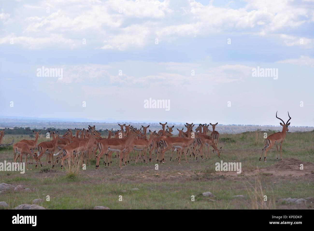 Wildlife in Maasai Mara, Kenya. Impala herd on skyline - Stock Image