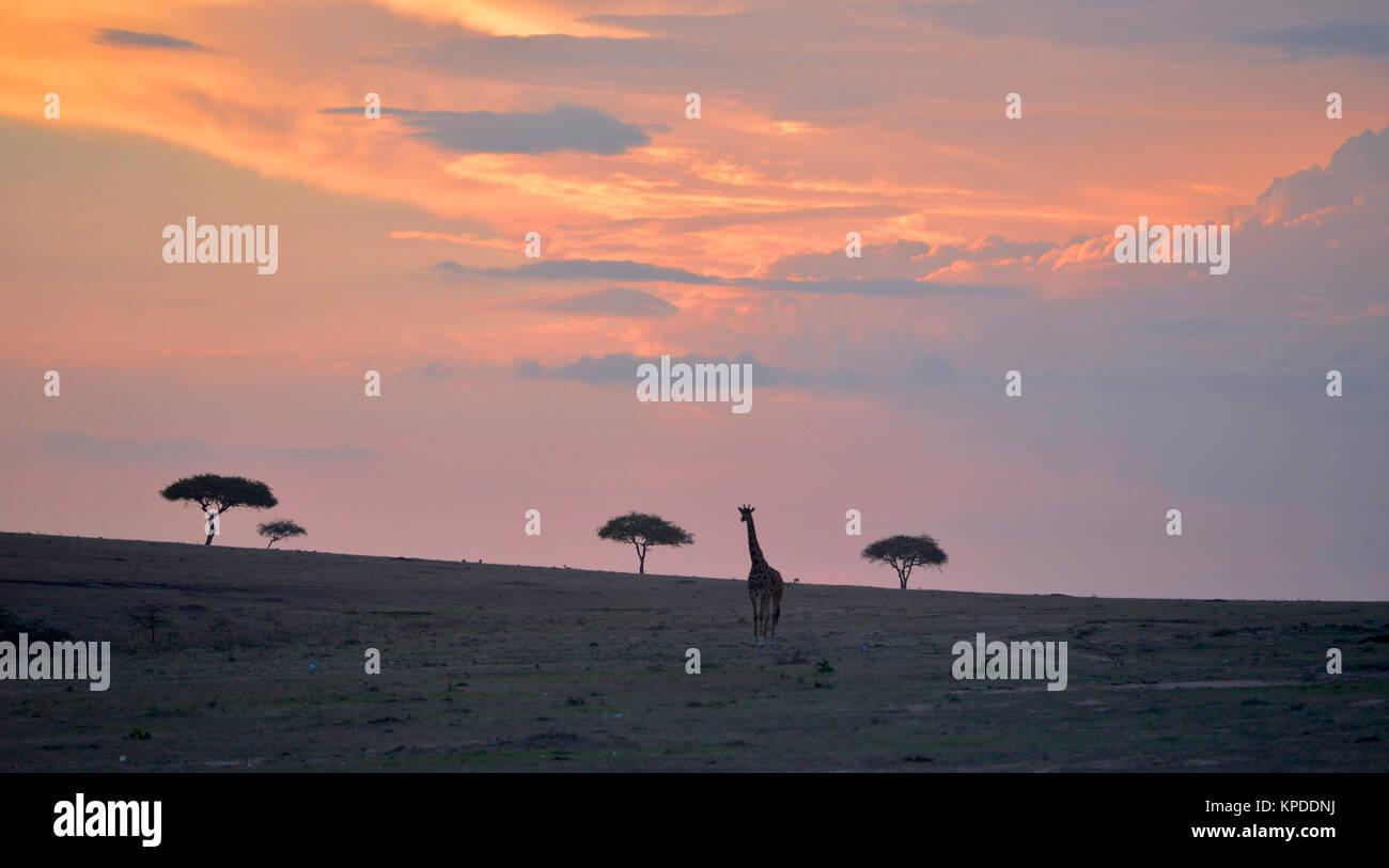 Wildlife in Maasai Mara, Kenya. Giraffe silhouette at sunset on skyline. - Stock Image