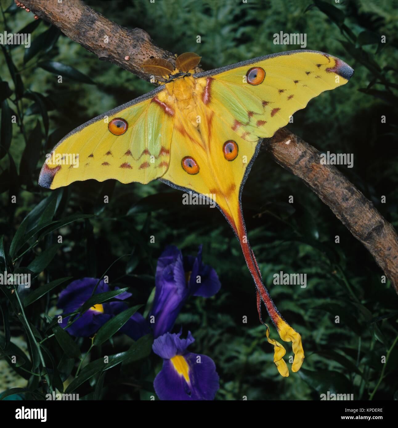 Kometenfalter, männlicher Falter, Argema mittrei, Madagaskar , Nachtfalter, ein grosser Schmetterling, Spannweite bis 120mm, Vorkommen nur an wenigen Stellen auf der Insel Madagaskar Stock Photo