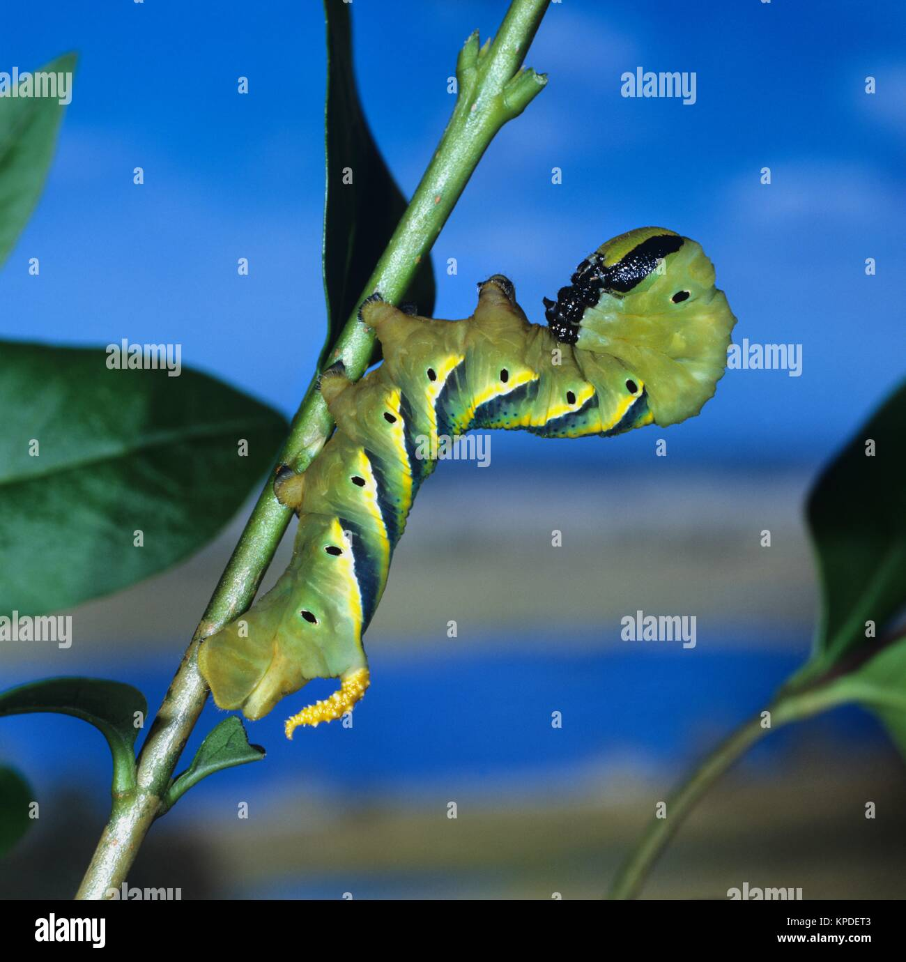 Erwachsene Raupe des Totenkopfschwärmers, gelbe Warnfarbe. Sie wird bis 130mm lang. Am Hinterleibsende haben - Stock Image
