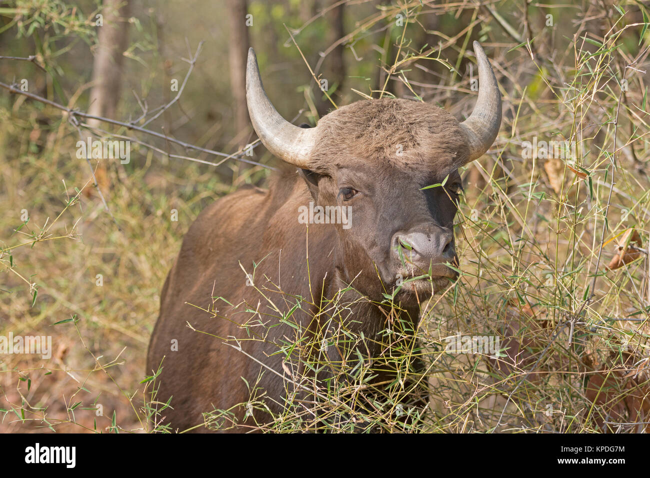 Gaur in the Forest of Bandhavgarh National Park in India - Stock Image