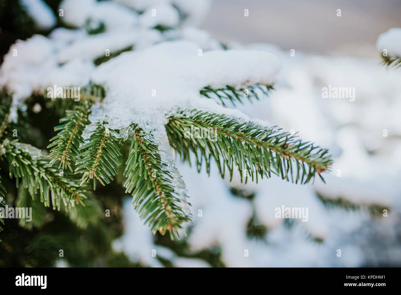 Green fir tree branch covered with snow - Stock Image