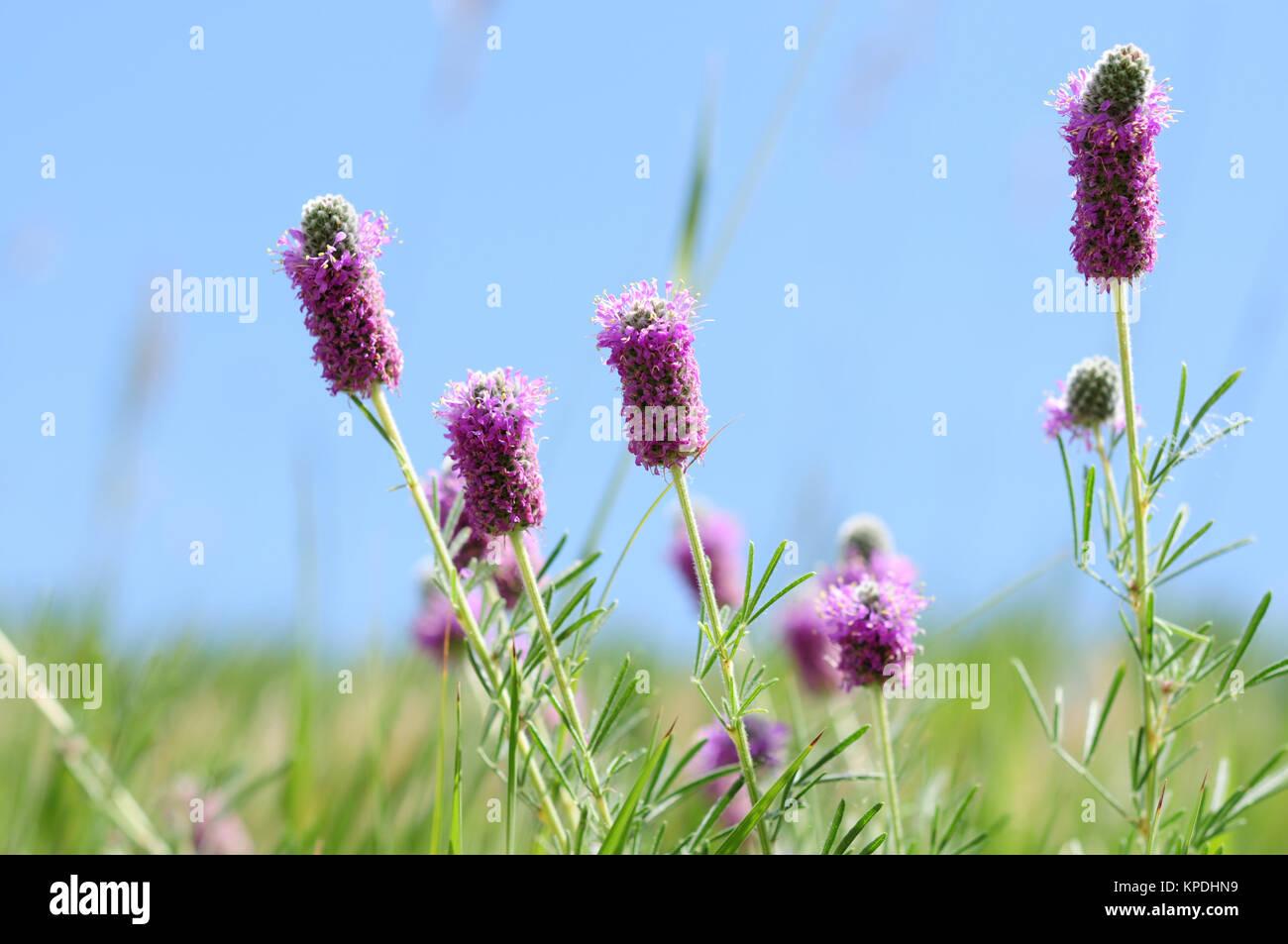 Wildflowers of Colorado - Purple Prairie Clover Flowers, Dalea purpurea. Stock Photo