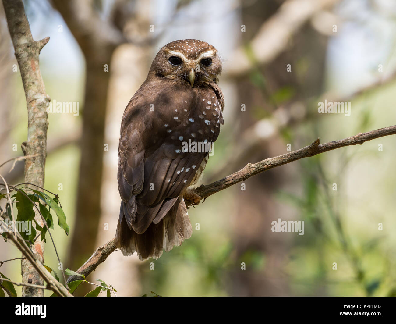 A White-browed Owl (Athene superciliaris) perched on a branch in forest. Berenty Private Reserve. Madagascar, Africa. - Stock Image