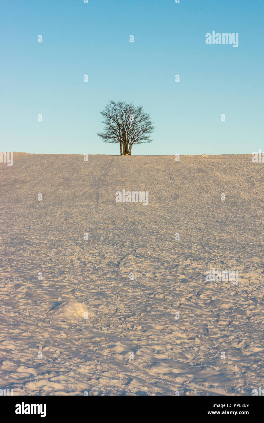 Single tree in a snowfield in winter at dusk with fine weather, Vosges, France. - Stock Image