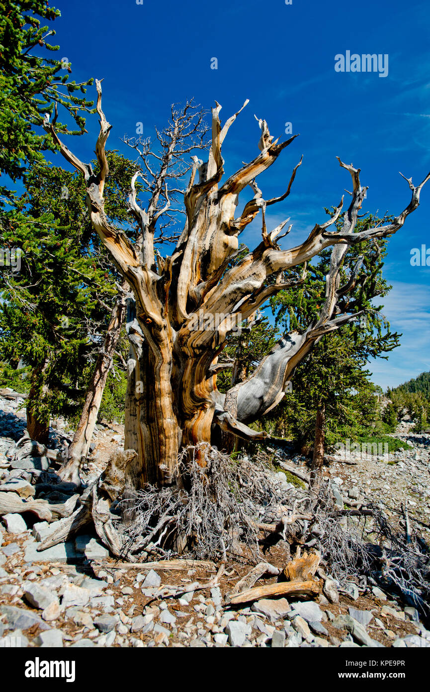 Bristlecone pine (Pinus longaeva) in Great Basin National Park Nevada.  Oldest known non-clonal organism on earth. - Stock Image
