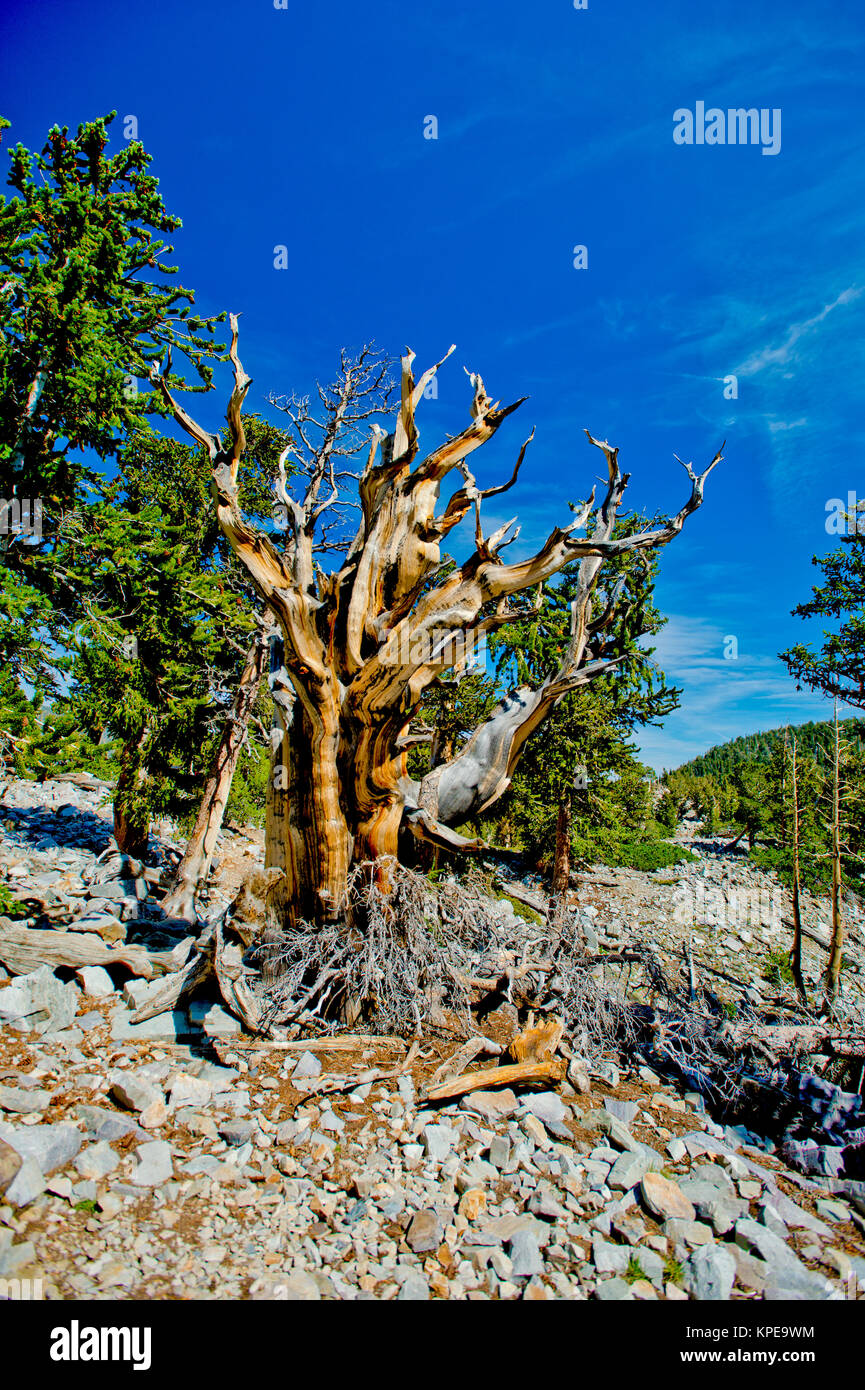 Bristlecone pine (Pinus longaeva) in Great Basin National Park Nevada.  Oldest known non-clonal organism on earth - Stock Image