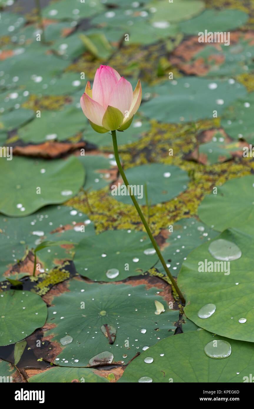 Lotus flower pond stock photo 168735797 alamy lotus flower pond izmirmasajfo