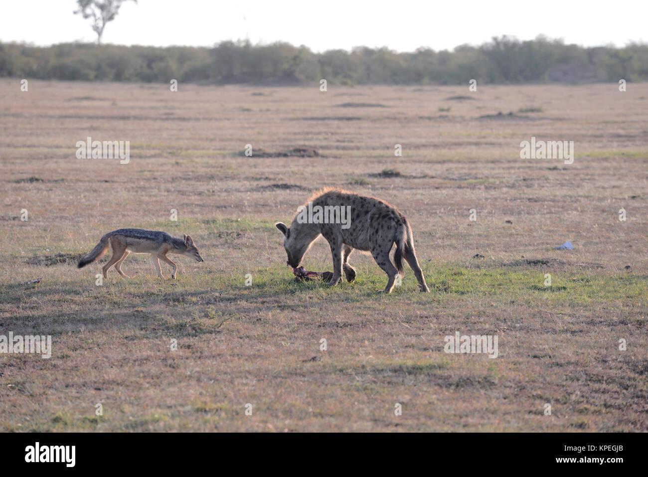 Wildlife in Maasai Mara, Kenya. Hyena and jackal scavenging dead wildebeest. - Stock Image