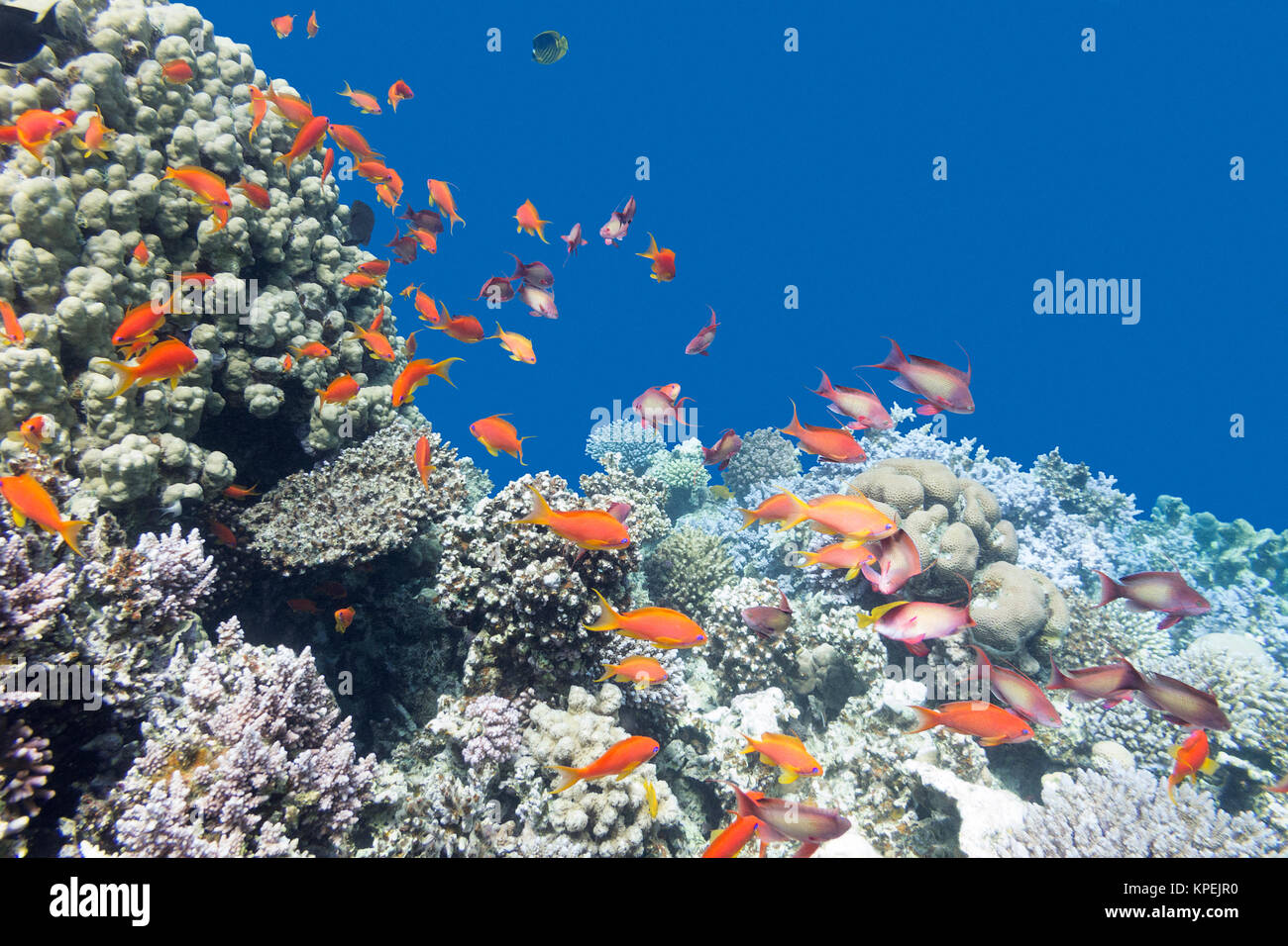 coral reef with shoal of fishes scalefin anthias, underwater - Stock Image