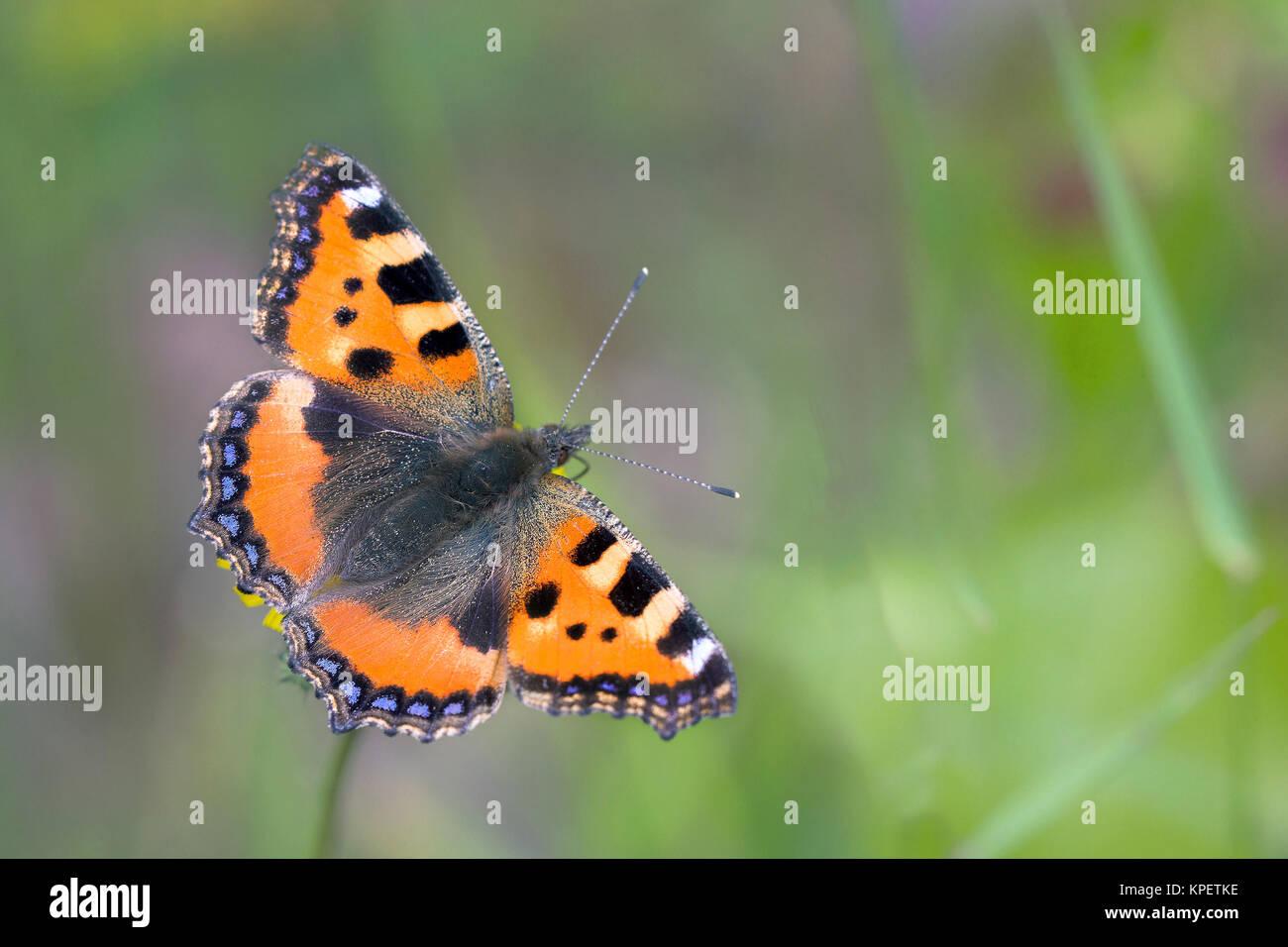 small tortoiseshell butterfly (aglais urticae) - Stock Image