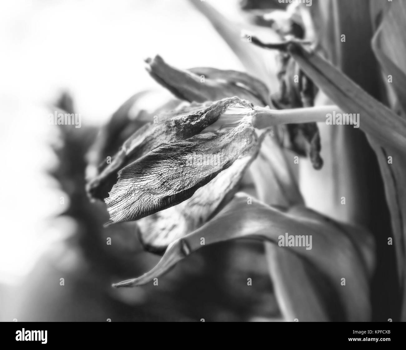 Beauty dry tulip fade like symbol of time in black and white - Stock Image