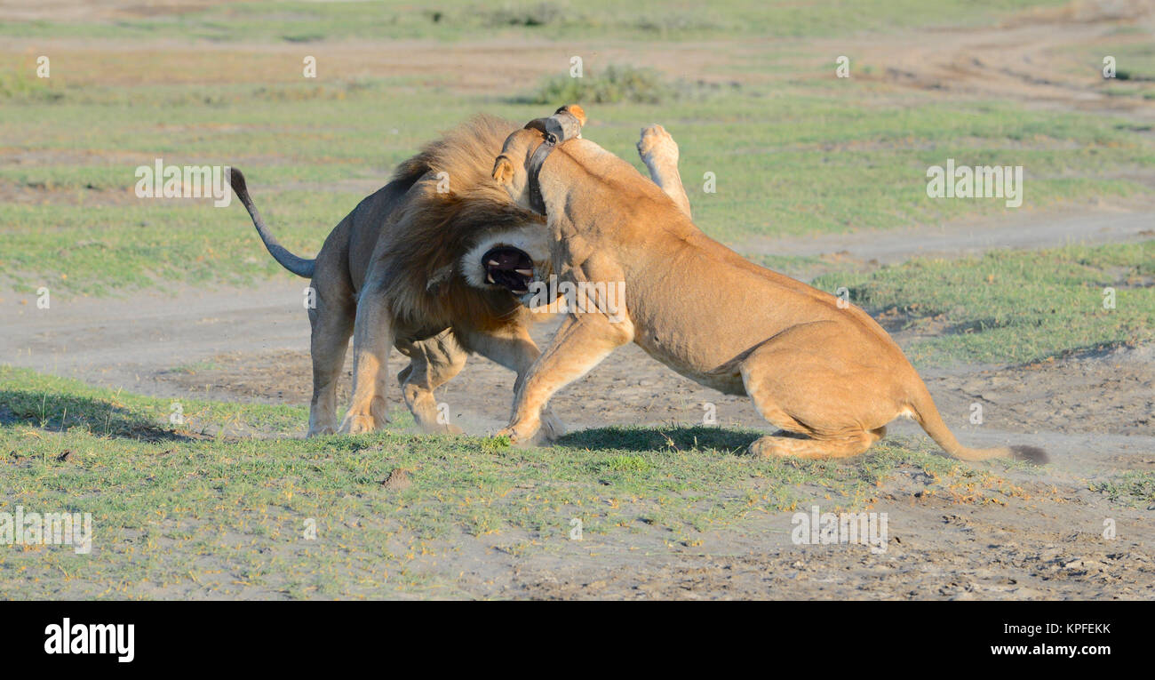 Wildlife sightseeing in one of the prime wildlife destinations on earht -- Serengeti, Tanzania. Fighting lions Stock Photo