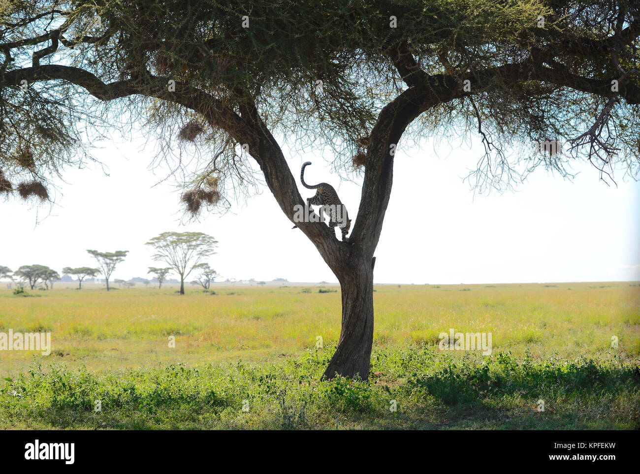 Wildlife sightseeing in one of the prime wildlife destinations on earht -- Serengeti, Tanzania. Leopard in fork - Stock Image