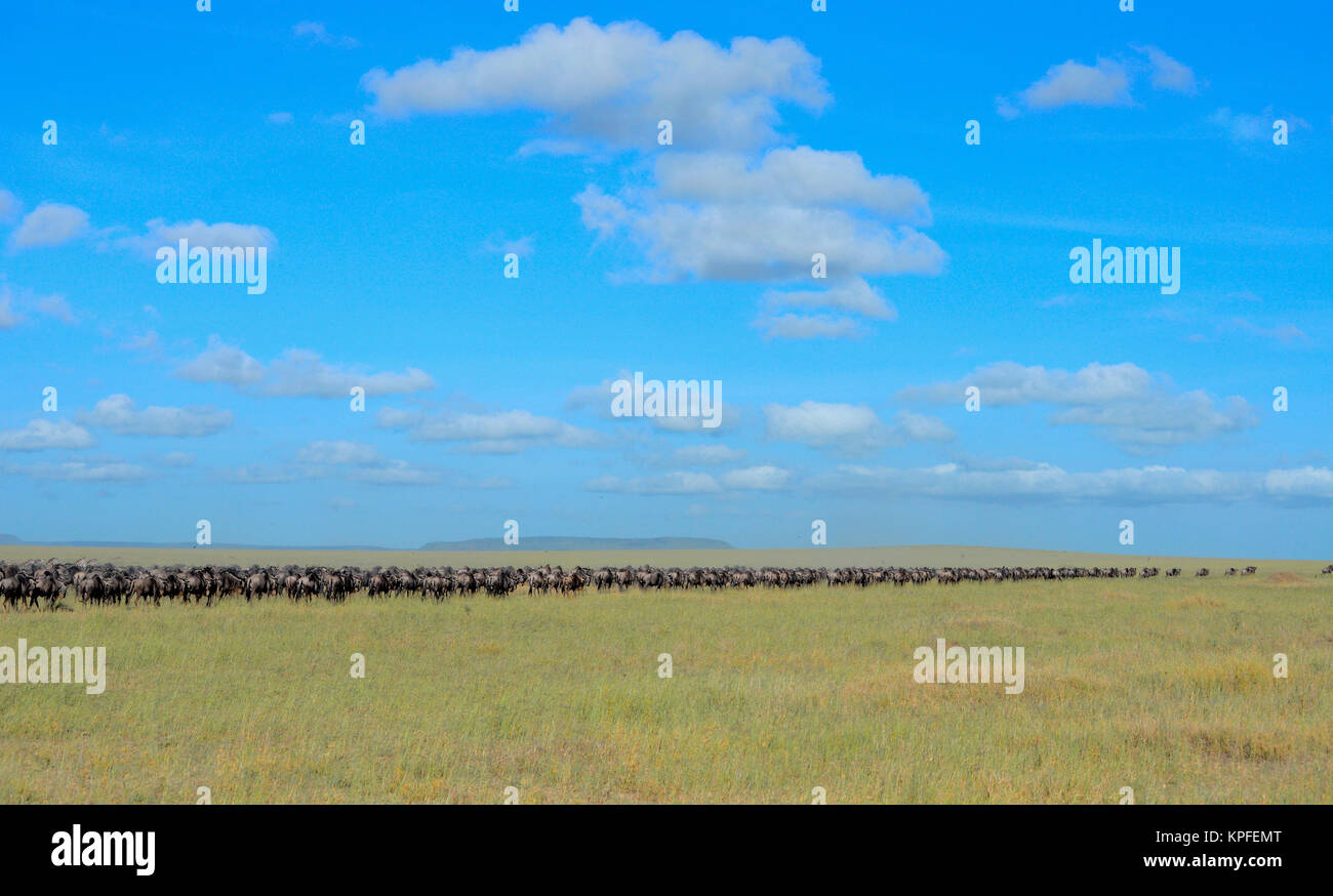 Wildlife sightseeing in one of the prime wildlife destinations on earht -- Serengeti, Tanzania. Wildebeest migration - Stock Image
