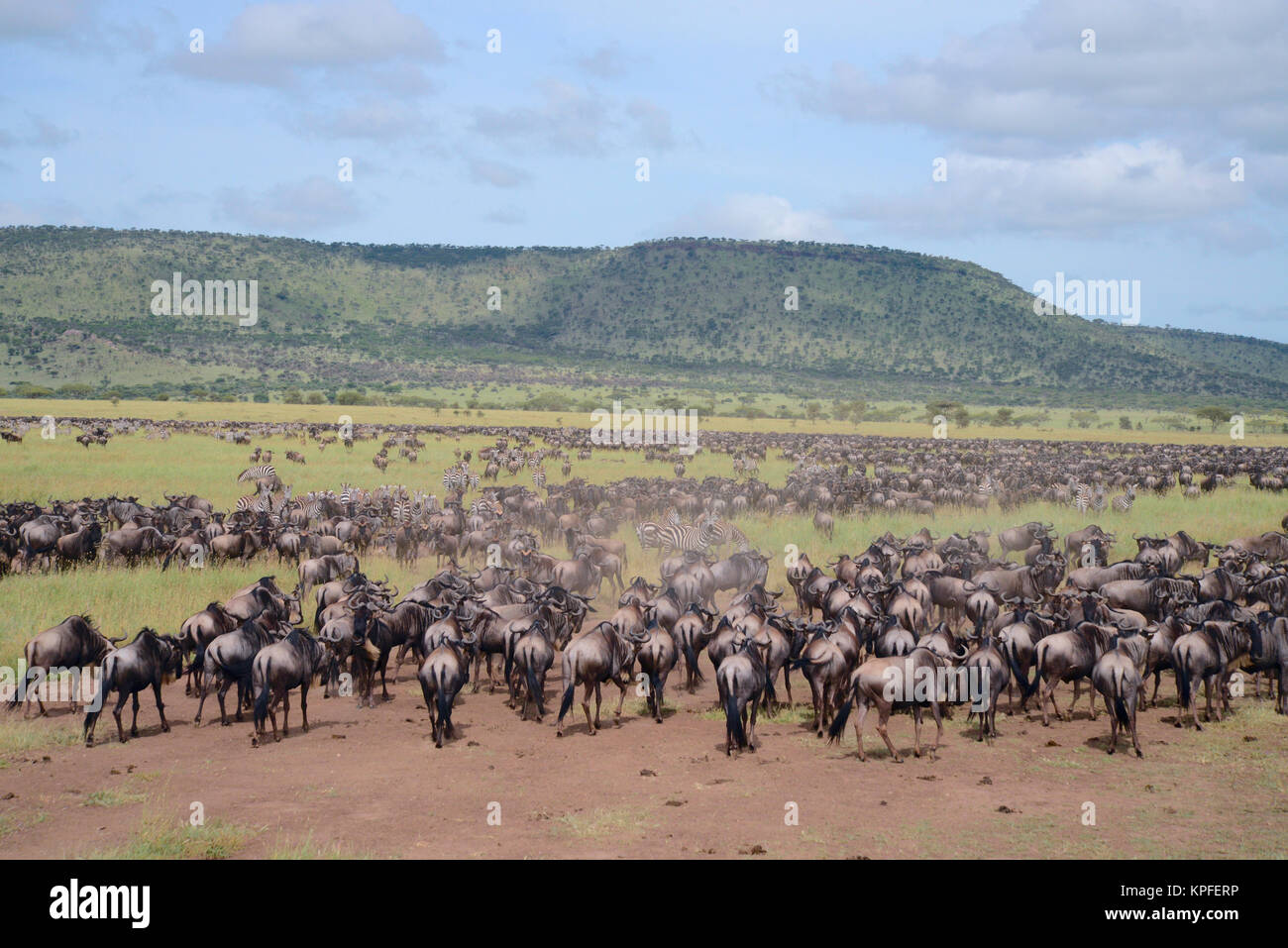Wildlife sightseeing in one of the prime wildlife destinations on earht -- Serengeti, Tanzania. Migrating wildebeest. - Stock Image