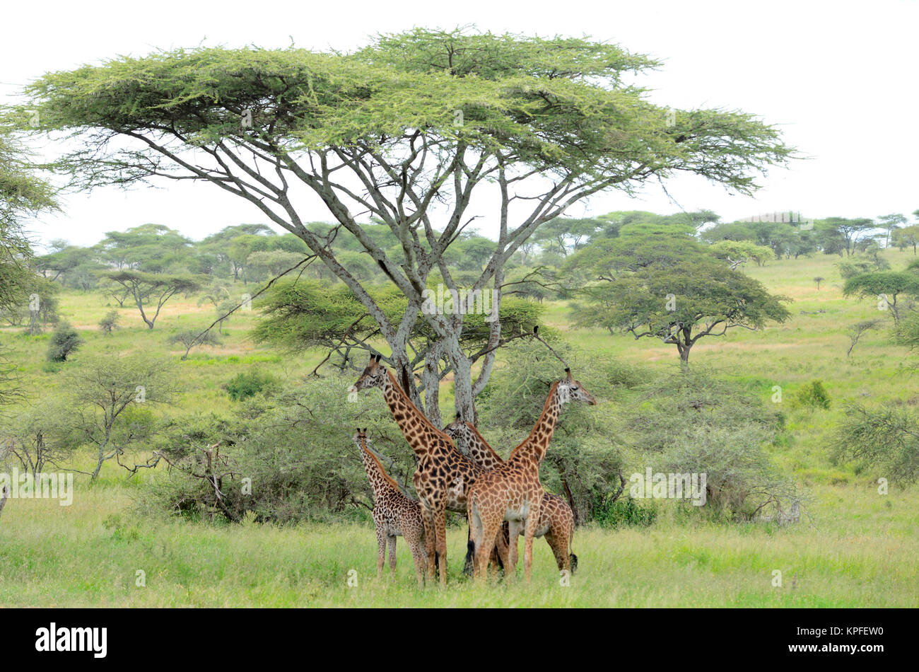 Wildlife sightseeing in one of the prime wildlife destinations on earht -- Serengeti, Tanzania. Giraffe herd under - Stock Image