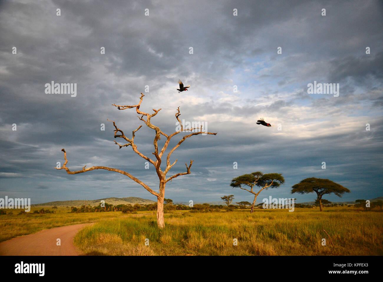 Wildlife sightseeing in one of the prime wildlife destinations on earht -- Serengeti, Tanzania. Ground hornbills - Stock Image