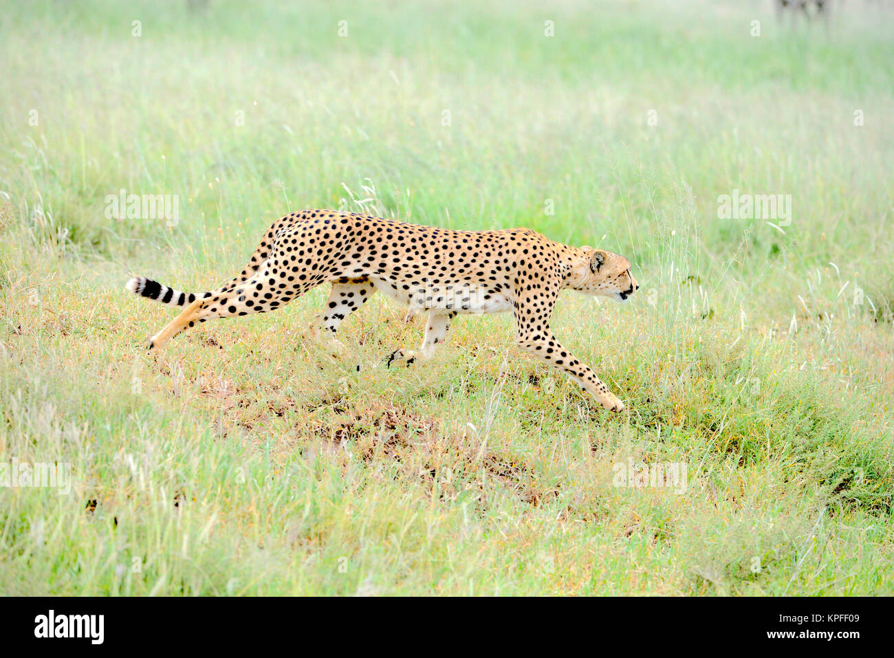Wildlife sightseeing in one of the prime wildlife destinations on earht -- Serengeti, Tanzania. Male cheetah on - Stock Image