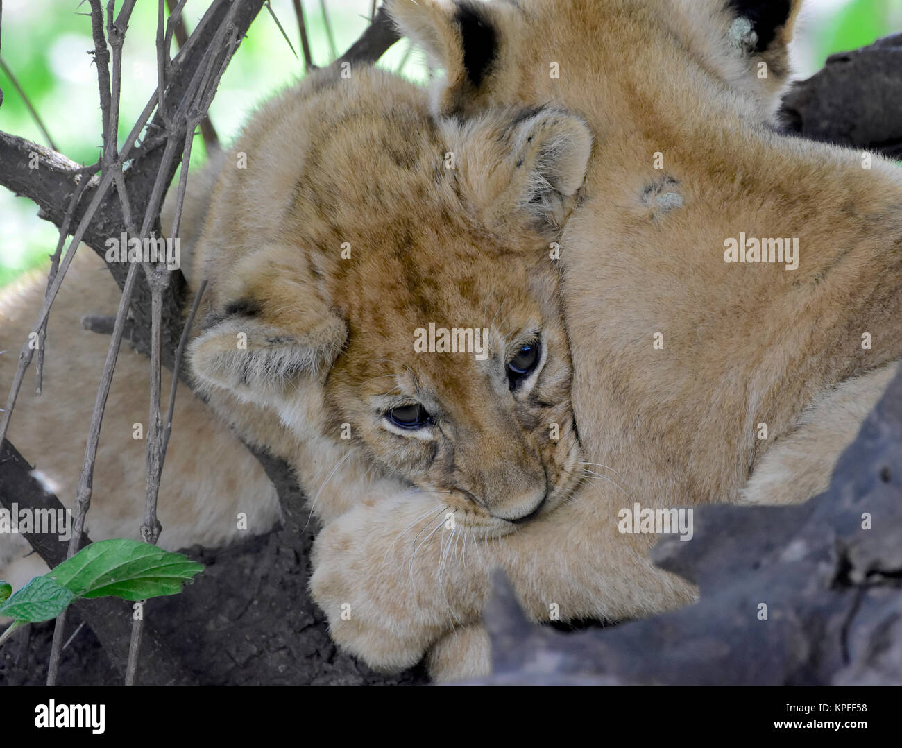 Wildlife sightseeing in one of the prime wildlife destinations on earht -- Serengeti, Tanzania. Cuddling lion cubs. - Stock Image