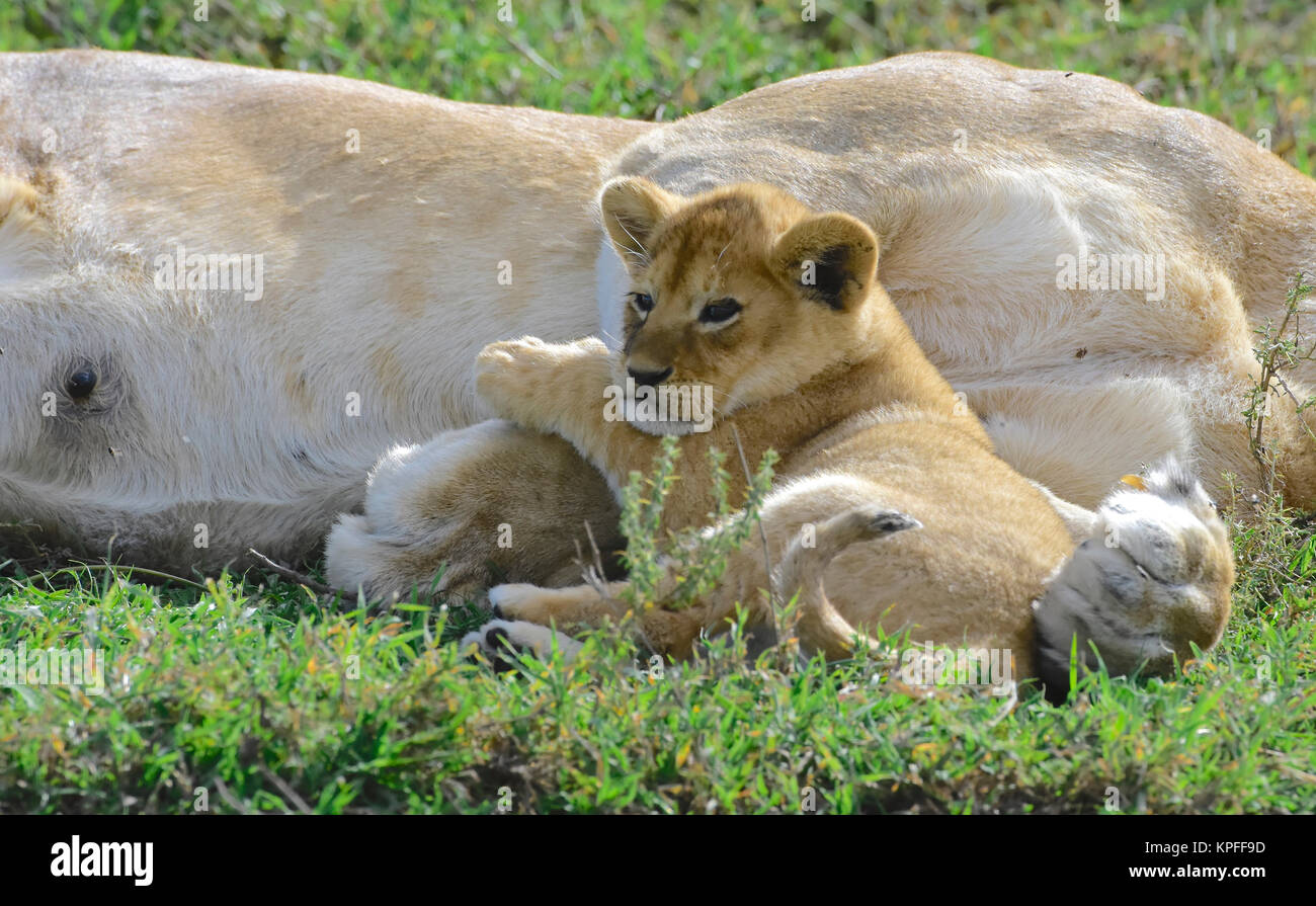 Wildlife sightseeing in one of the prime wildlife destinations on earht -- Serengeti, Tanzania. lioness with small - Stock Image