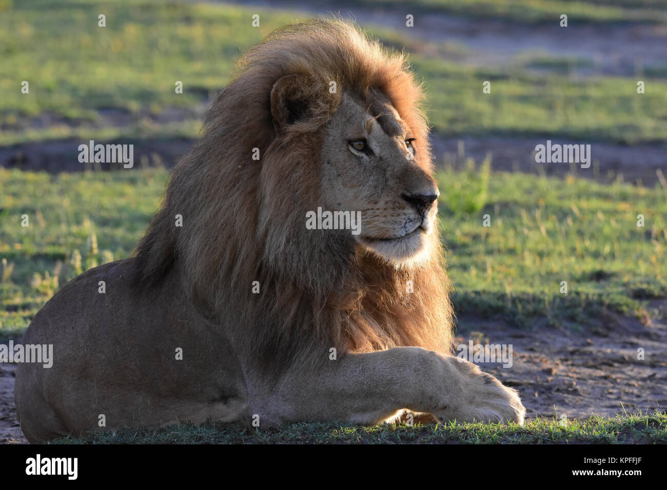 Wildlife sightseeing in one of the prime wildlife destinations on earht -- Serengeti, Tanzania. Handsome male lion - Stock Image