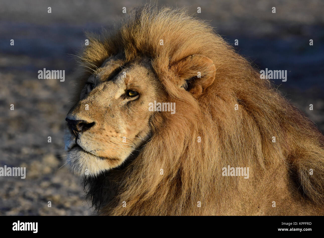 Wildlife sightseeing in one of the prime wildlife destinations on earht -- Serengeti, Tanzania. Huge maned lion - Stock Image