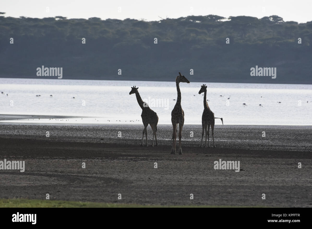 Wildlife sightseeing in one of the prime wildlife destinations on earth -- Serengeti, Tanzania. Giraffe silhouette - Stock Image